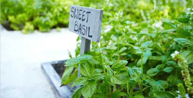 「バジルを育ててみた家庭菜園【プランター栽培】」のアイキャッチ画像
