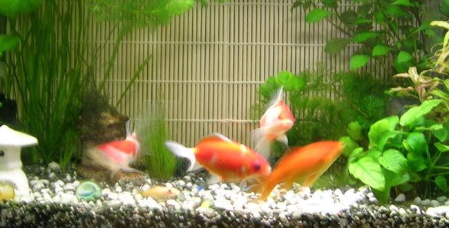 「金魚の飼育~実際の準備【金魚の飼い方】」のアイキャッチ画像