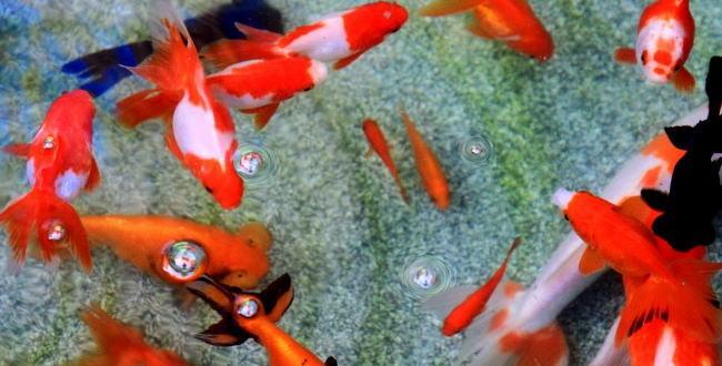 「金魚の寿命と金魚の歴史【金魚の飼い方】」のアイキャッチ画像