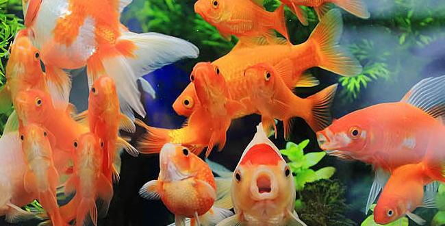 「白点病の治し方【金魚の飼い方】」のアイキャッチ画像