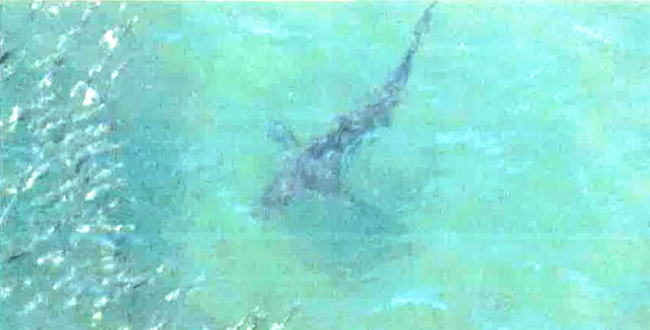 「なぜサメが日本の海水浴場にて頻繁に目撃されるのか?」のアイキャッチ画像
